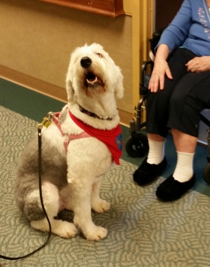 Therapy dog Hannah Bear bringing joy during the Reviello's nursing home visits.